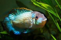 Nannacara变态霓虹蓝色五颜六色的公丽鱼科鱼,显示产生行为 库存图片
