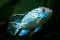 Nannacara anomala błękitnego, słodkowodnego cichlid samiec dominująca ryba neonowa, sztuczny traken, naturalny akwarium, zbliżeni zdjęcie royalty free