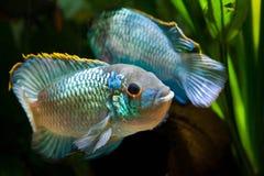 Nannacara anomala błękitnego, słodkowodnego cichlid samiec dominująca ryba w spektakularny ikrzyć się neonowa, barwi koperczaki ż obraz stock