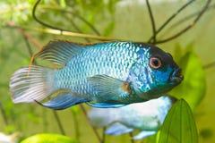 Nannacara anomala neon blue, dominant male cichlid side view, aquarium photo. Nannacara anomala neon blue, dominant male cichlid side view, freshwater fish royalty free stock photo