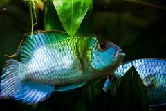 Nannacara anomala neon blue, freshwater cichlid dominant male fish in spawning color courtship a female, natural aqua. Rium, closeup nature photo stock image
