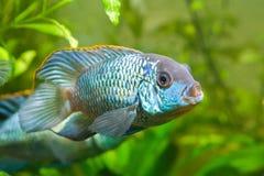 Nannacara anomala neonowy błękit, dominującego męskiego cichlid boczny widok, słodkowodna ryba, naturalny akwarium, makro- natury obraz stock