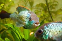 Nannacara anomala neonowy błękit, męskiego cichlid frontowy widok, słodkowodna akwarium ryba, natury fotografia obraz stock