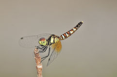 Nannophya pygmaea侏儒蜻蜓 库存图片