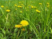 Nannte blühendes farfara Tussilago Feld des gelben medizinischen Coltsfoot auch Mutter- und Stiefmutterblume stockfoto