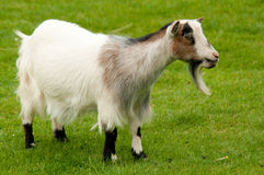 Nanny Goat Stock Photography