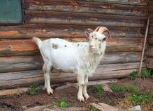 Nanny goat Royalty Free Stock Photography