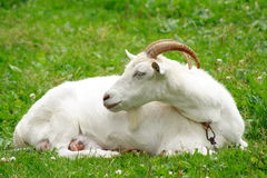Nanny goat. Female goat laying on the grass Stock Photos