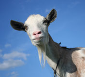 Nanny Goat Royalty Free Stock Images