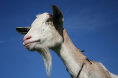 Nanny Goat. On the blue sky background Royalty Free Stock Image