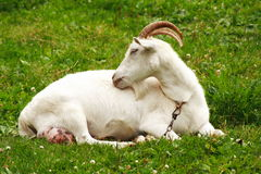 Nanny goat. Female goat laying on the grass Royalty Free Stock Photography