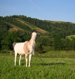 Nanny Goat. On a beautiful green pasture Stock Images