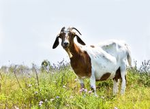 Nanny Goat chewing Chicory Flower. Domestic goat doe with horns and beard munches on chicory plants in a farm field Royalty Free Stock Photo