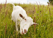 Nanny goat eating grass. Stock Image