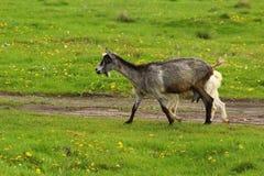Nanny goat Stock Images
