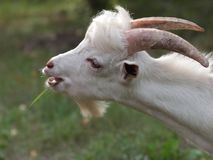 Nanny-goat. Goat with horns chewing grass on a green meadow Royalty Free Stock Image