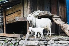 Nanny-goat and goatling in the barnyard. Nepal stock image