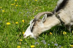 Nanny goat grazes in the green field Royalty Free Stock Photos