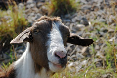 Nanny goat head. Nanny goat brown and white head close-up royalty free stock image