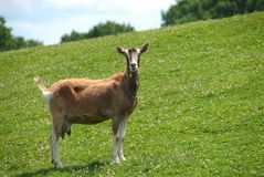 Nanny Goat on the Hillside Royalty Free Stock Photos