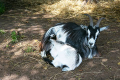Nanny-goat with kid Stock Images