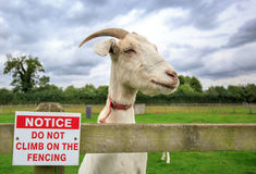 Nanny Goat misbehaving while climbing on a fence. Goat standing on a wooden fence next to a no climbing sign Stock Image