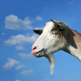 Nanny Goat On The Sky Background. Portrait Royalty Free Stock Photos