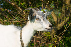 Nanny goat smiling Royalty Free Stock Images