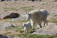 Nanny and Kid Mountain Goat Royalty Free Stock Photography