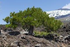 Nano Pine. On Etna Park Stock Photos