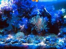 Nano reef. Tank  , clown fish and coral Stock Photo