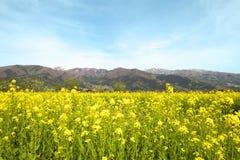 Nanohana flowers in Japan Stock Photography