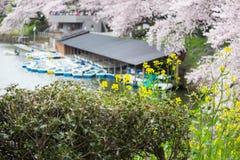 Nanohana jaune avec des fleurs de cerisier et des bateaux de palette derrière : Passage couvert de Chidorigafuchi, Chiyoda, Tokyo Photographie stock libre de droits