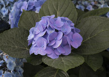 Nantucket Blue Mophead Hydrangea. A Nantucket Blue Mophead Hydrangea is illuminated by bright sunlight stock image