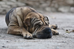 Nap. A shar pei has an afternoon nap royalty free stock photography
