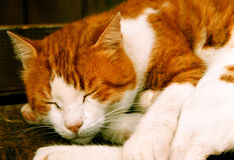 Nap Cat. A cat sleeping while taking shelter from the cold wind Royalty Free Stock Photo