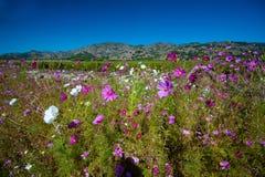 Nap Dolinni Wildflowers - Napy dolina, Kalifornia Zdjęcia Royalty Free