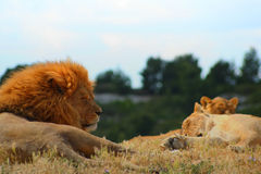 Pride of lions sleeping. Pride of lions including large male, lioness and cub all asleep in grassy area with background of distant trees and sky stock photo