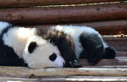 The nap of panda Royalty Free Stock Photos