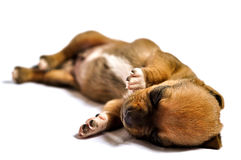 Nap puppy Royalty Free Stock Images