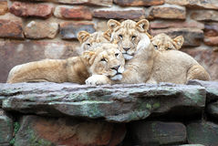 Nap Time. Lion cubs at the Fort Worth Zoo Stock Image