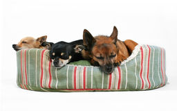 Nap time. Three dogs sleeping in a pet bed Royalty Free Stock Images