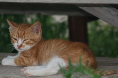 Nap time. An orange tabby kitten napping on a wooden park bench royalty free stock photos