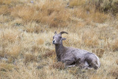 Nap time for bighorn sheep ewe, time to ruminate Stock Photography