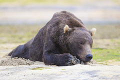 Nap time. Brown bear sleeping in warm sand Royalty Free Stock Photography