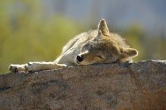 ¡Nap Time! Coyote que duerme en una roca en el Sun Foto de archivo