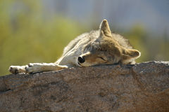 Nap Time! Coyote Sleeping on a Rock in the Sun Stock Photo