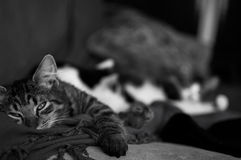 Nap time. A grey tabby kitten taking a nap Royalty Free Stock Photography