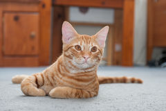 Nap time interrupted. Tabby kitten looking up and alert Royalty Free Stock Image