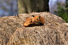 NAP TIME. A Red Fox taking a nap on a cool, sunny, calm day. Those big round bails are perfect for taking a nap royalty free stock image